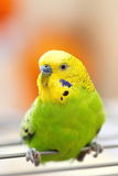 Colorful wavy parrot Royalty Free Stock Photo