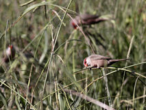 Colorful waxbill bird Stock Images