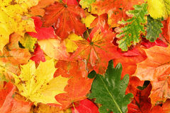 Colorful wet autumn fallen leaves Stock Photography