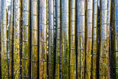 Colorful Wet Bamboo. A Colorful Wet Bamboo wall Royalty Free Stock Photo