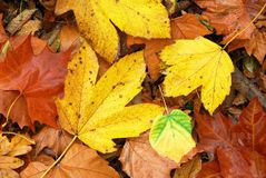 Colorful and wet fallen leaves in autumn season Stock Photos