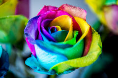 Colorful wet rose stock image
