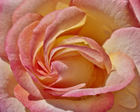 Colorful wet rose. Flower closeup Royalty Free Stock Image