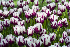 Colorful white and purple tulips Royalty Free Stock Photo