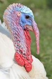 White turkey Head Stock Image