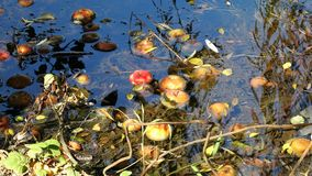 Colorful wild apples fallen in backwater in autumn forest stock image