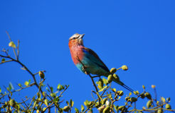 Colorful wild bird. Wild bird sitting on top of a tree Stock Image