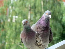 Colorful wild doves Royalty Free Stock Photo