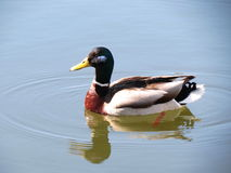 Colorful wild duck stock photos