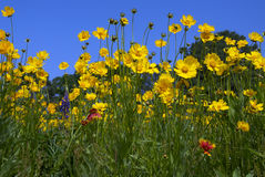 Colorful Wild flowers. Purple red and yellow flowers in an open field Stock Photos