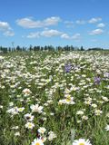 White chamomile in meadow, Lithuania Royalty Free Stock Photos