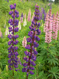 Colorful wild lupins blooming Royalty Free Stock Photo