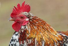 Colorful wild rooster Royalty Free Stock Image
