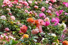 Colorful wild roses Royalty Free Stock Image