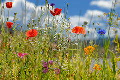 Colorful wildflowers. Blossoming in field stock photography