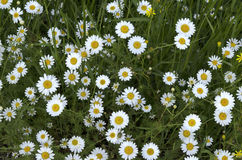 Colorful wildflowers blossoming camomile in field Royalty Free Stock Photos