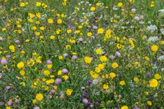 Colorful wildflowers in the field. Weed сommon thistle, hemlock, sow thistle royalty free stock photos