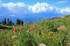 Colorful wildlfowers in the Wasatch Mountains. Stock Photos
