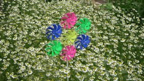 Colorful windmill toy in garden and medical chamomile flowers  flower bed. Beginning rotate in wind colorful windmill toy in garden and medical chamomile flowers stock video footage