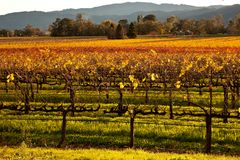Colorful wine country vines. Rows of grape vines colored in the autumn sun show the contrast that fall can bring to wine country Royalty Free Stock Images