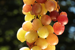 Colorful wine grape Stock Photography