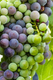 Colorful Wine Grapes on Grapevine Stock Images