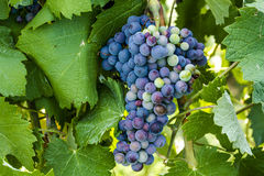 Colorful Wine Grapes on Grapevine Royalty Free Stock Photos