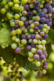 Colorful Wine Grapes on Grapevine Stock Photography