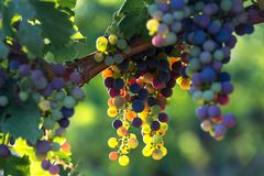 Colorful wine grapes in a vineyard. Some colorful wine grapes in a vineyard Royalty Free Stock Image