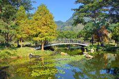 Colorful winter Bald Cypress tree. Hsinchu ,Taiwan royalty free stock photography