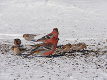 Colorful winter birds eating Royalty Free Stock Photos