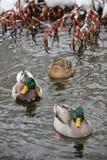 Colorful Winter Ducks Stock Photo