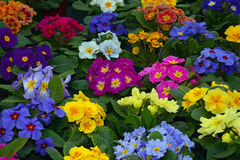 Colorful winter primroses Stock Photography