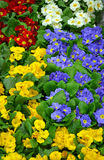 Colorful winter primroses Stock Images