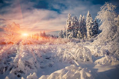 Colorful winter scene in the mountain forest. stock image