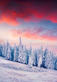 Colorful winter sunrise in the Carpathian mountain forest. Stock Image