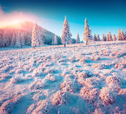 Colorful winter sunrise in the Carpathian mountain forest. Stock Images