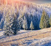 Colorful winter sunrise in the mountain forest. Royalty Free Stock Photos