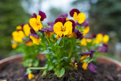 Colorful wittrockiana gams in a pot. Violet and yellow pancies in flowerpot Stock Image