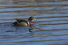 Colorful Wood Duck. Floating on Water Stock Images