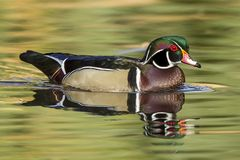 Colorful wood duck in pond. A male wood duck swims in the calm pond at Cannon Hill Park in Spokane, Washington Stock Image