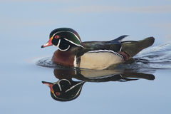 Colorful Wood Duck & Reflection Stock Image