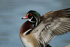 Colorful wood duck Stock Images