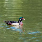 Colorful wood duck swimming in a pond, adult male with iridescent plumage and red eyes and white flare down the neck. Colorful wood drake duck swimming in a pond Royalty Free Stock Image