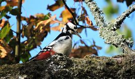 Colorful woodpecker on old tree branch, Lithuania Stock Images