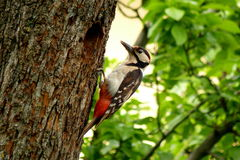 Colorful woodpecker on a tree with selective focus. A colorful woodpecker on a textured tree, nursing its children stock photo