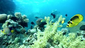 Colorful  World. Tropical fish. Coral reef. Exotic fishes. The beauty of the underwater world. Life in the ocean. Diving on a tropical reef. Submarine life stock video footage