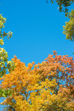 Colorful yellow autumn foliage against a blue sky Stock Photo