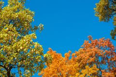 Colorful yellow autumn foliage against a blue sky Stock Photos
