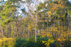Colorful yellow autumn foliage. On woodland trees showing the changing seasons and life cycle of deciduous trees in a scenic landscape Stock Images